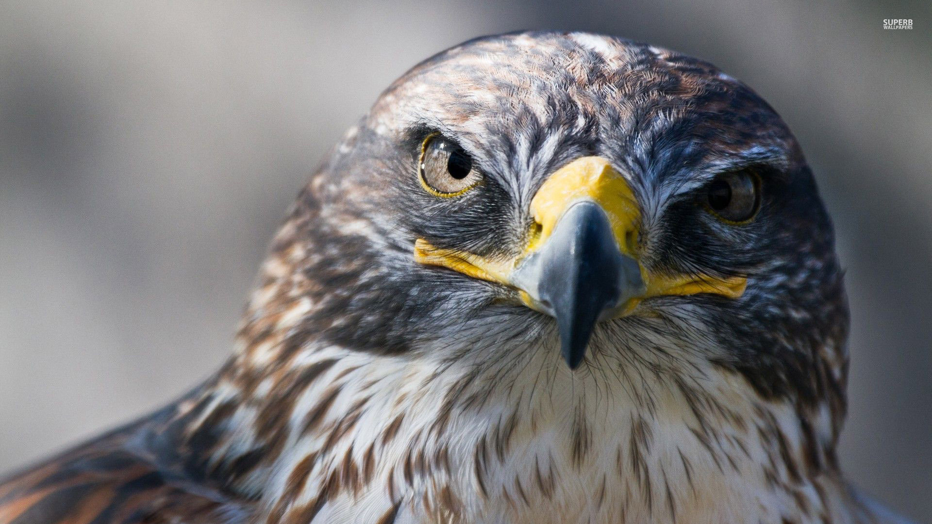 ... Falcon wallpaper - Animal wallpapers - #28993 ...