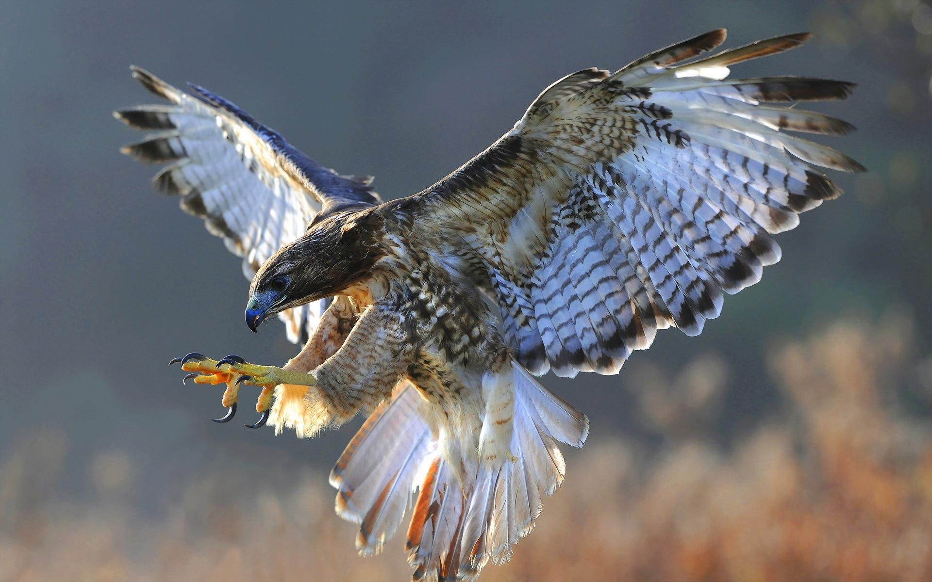 1920x1200 Animal Falcon