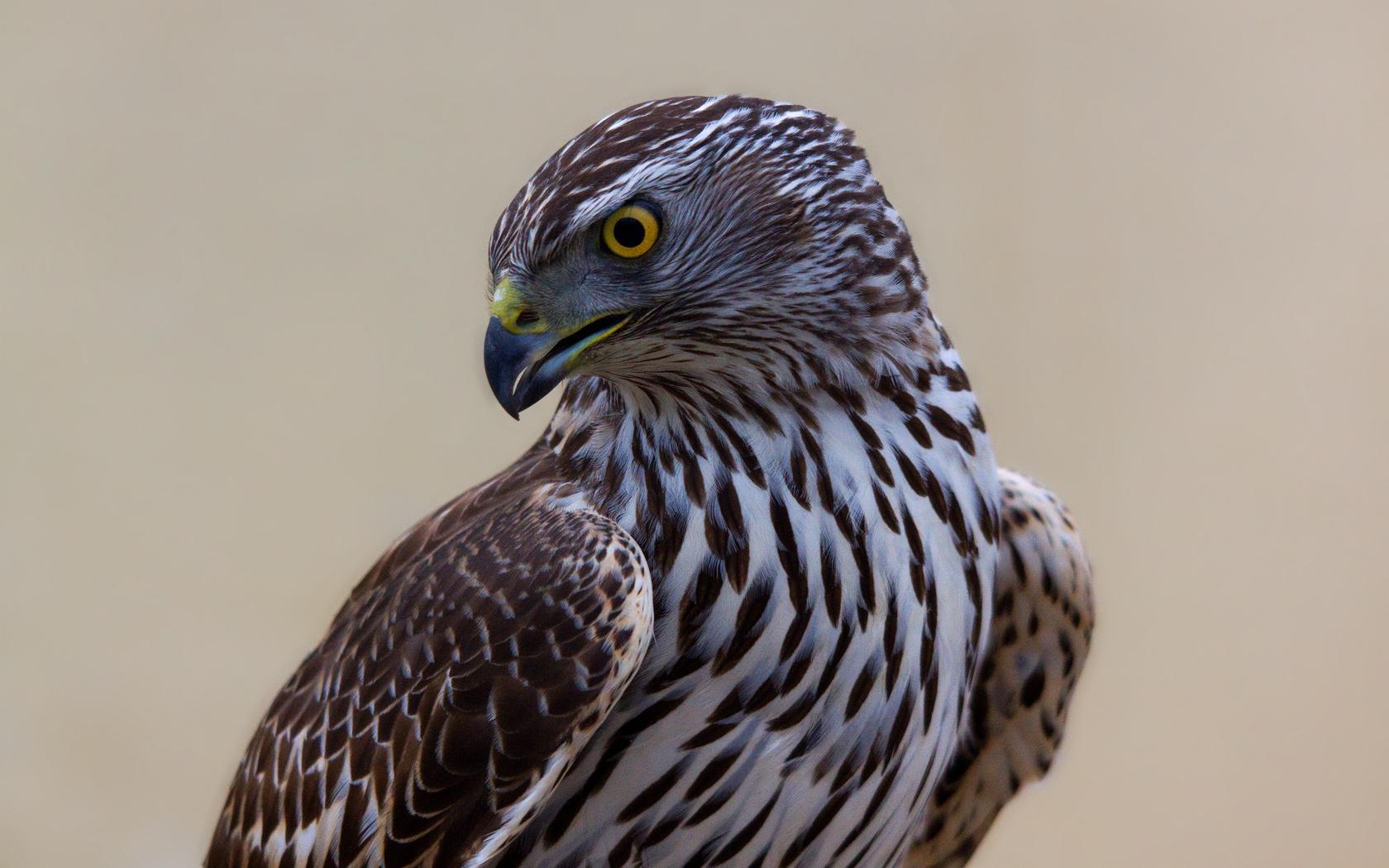 birds eagles falcon bird