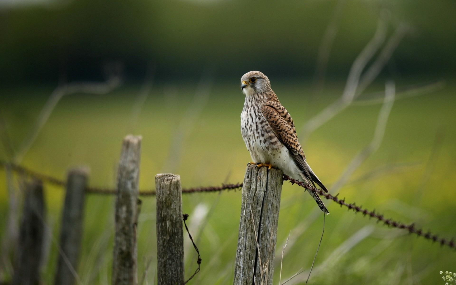 Falcon Bird Fence Nature