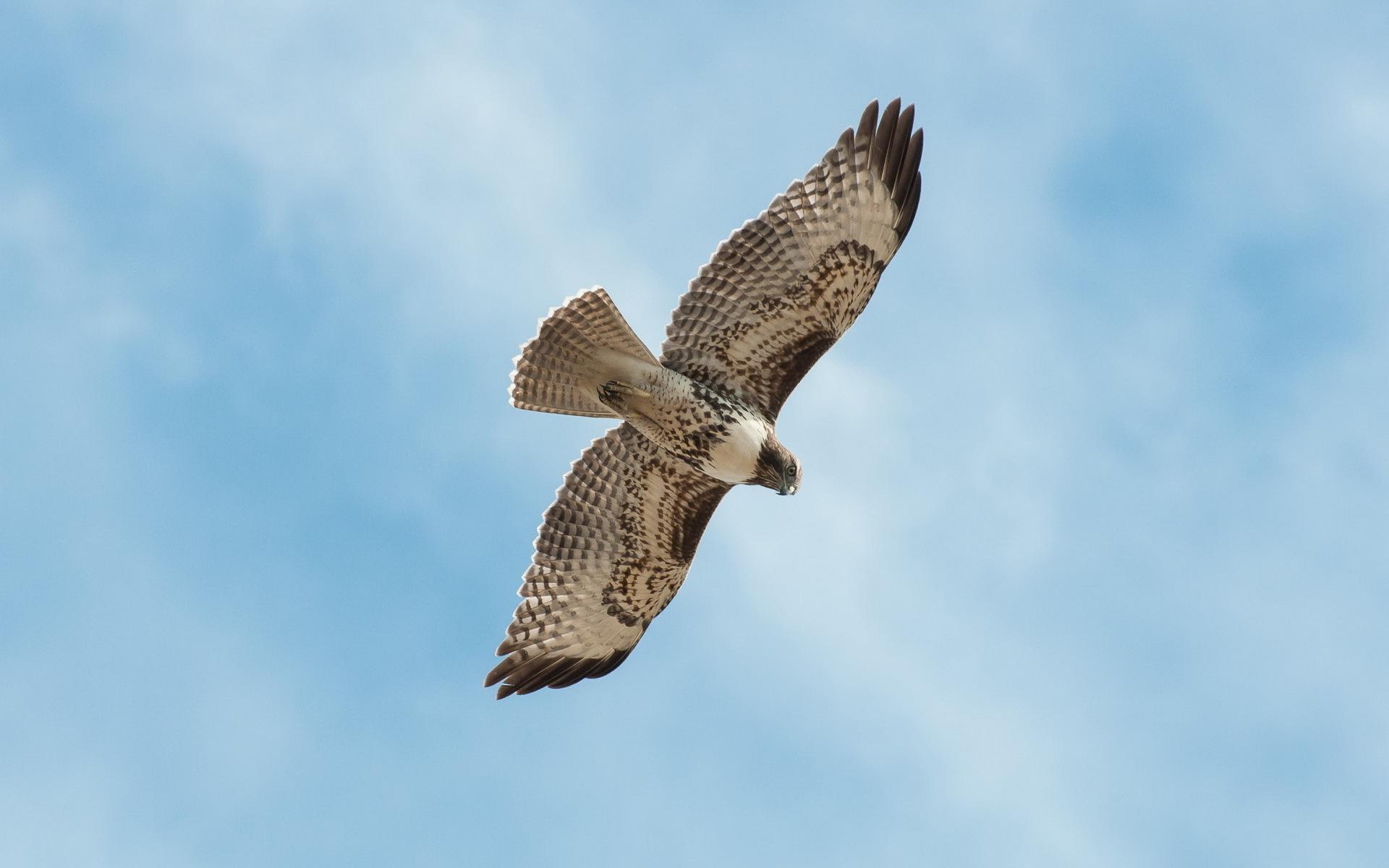 Falcon sky