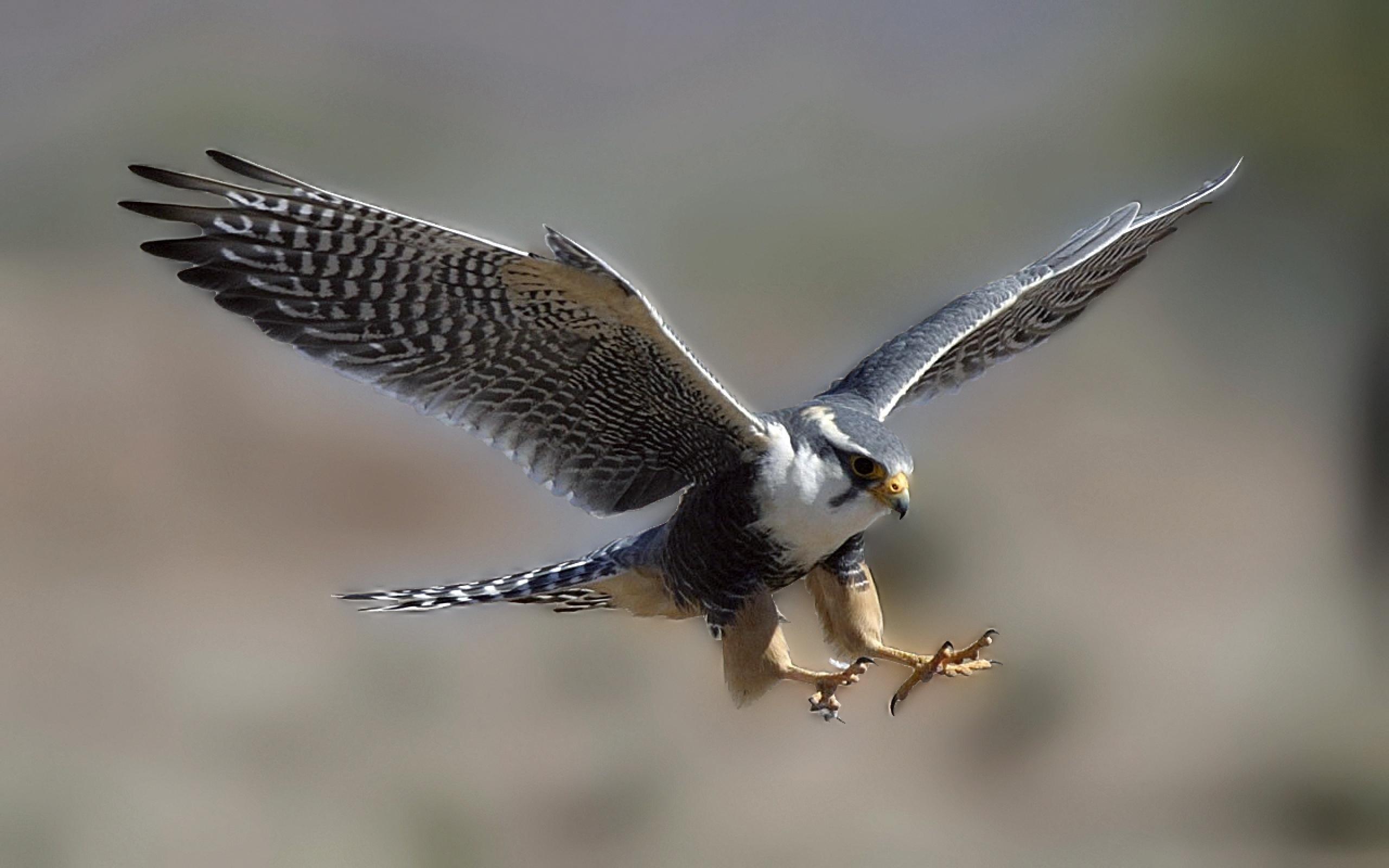 Bird Flying Falcon Wallpaper
