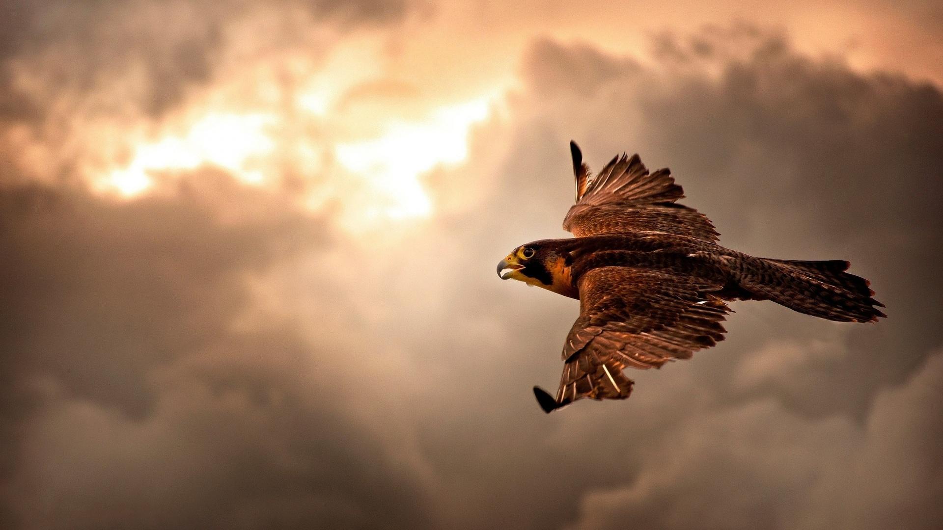 Cool Falcon Wallpaper