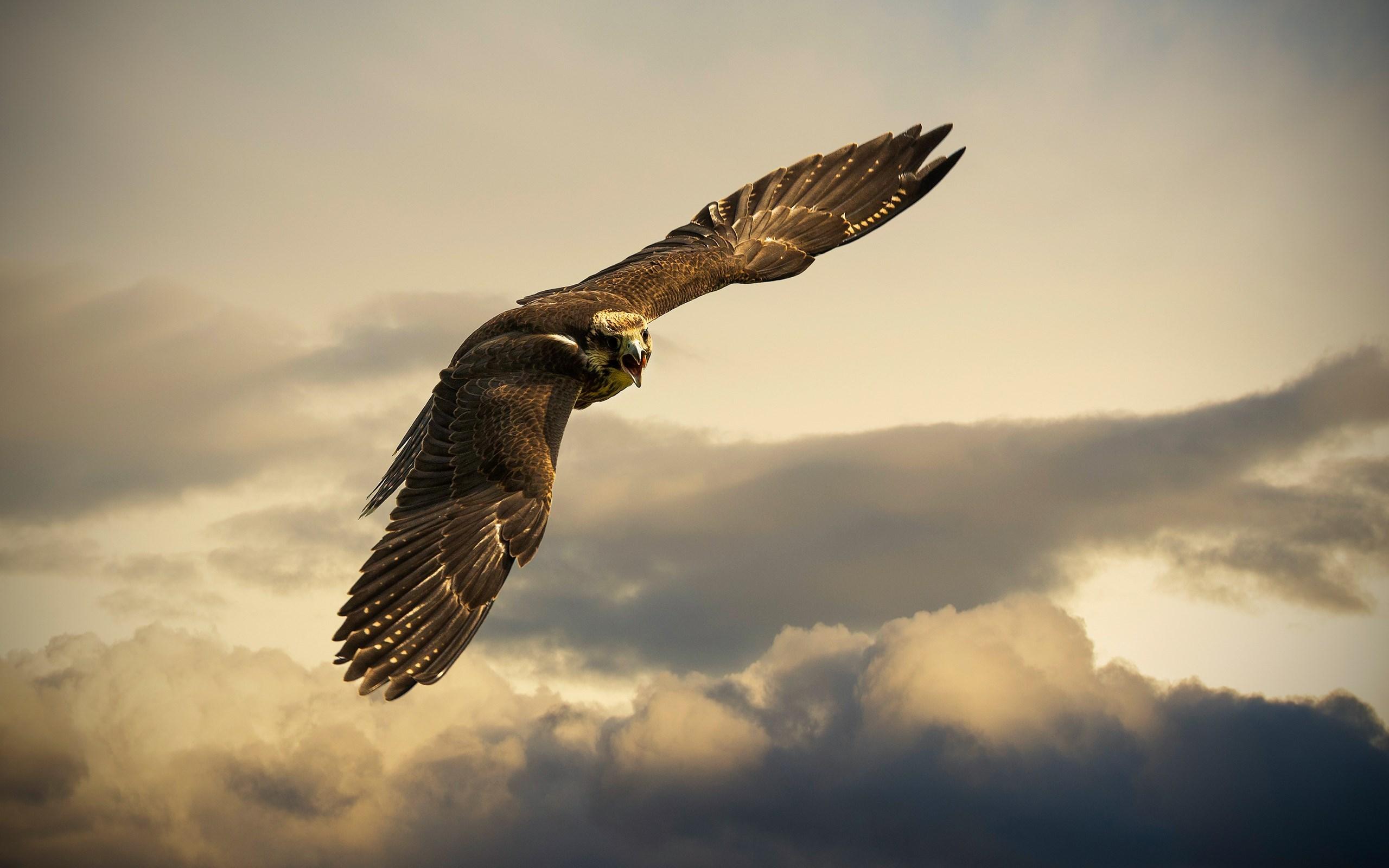 ... Falcon Wallpaper ...