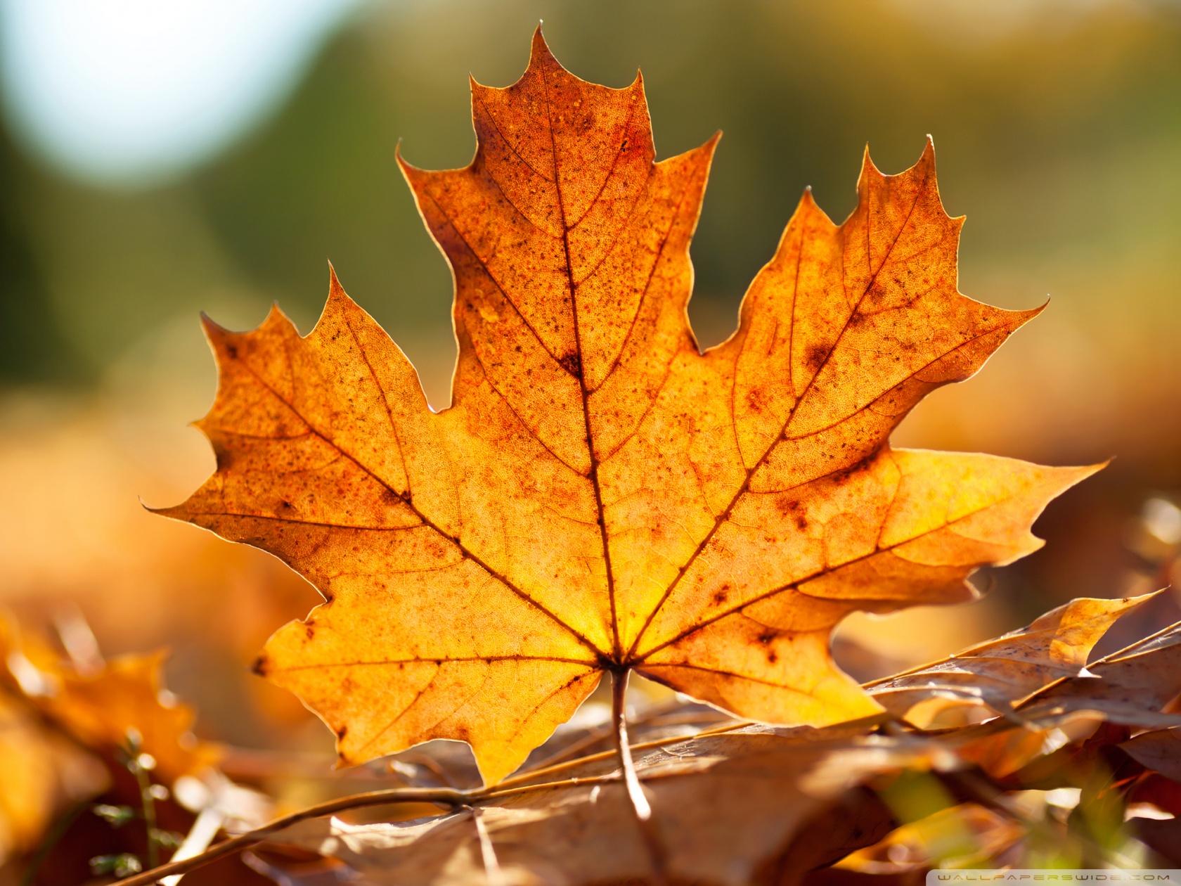 Fall Leaf Wallpaper 1680x1260 29976