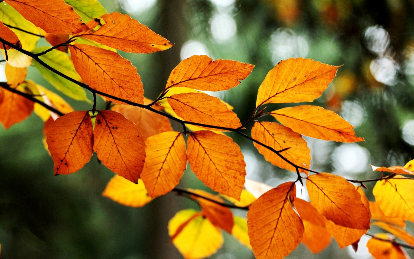 Fall Tree Leaves Nature wallpaper | 1680x1050 | #29980
