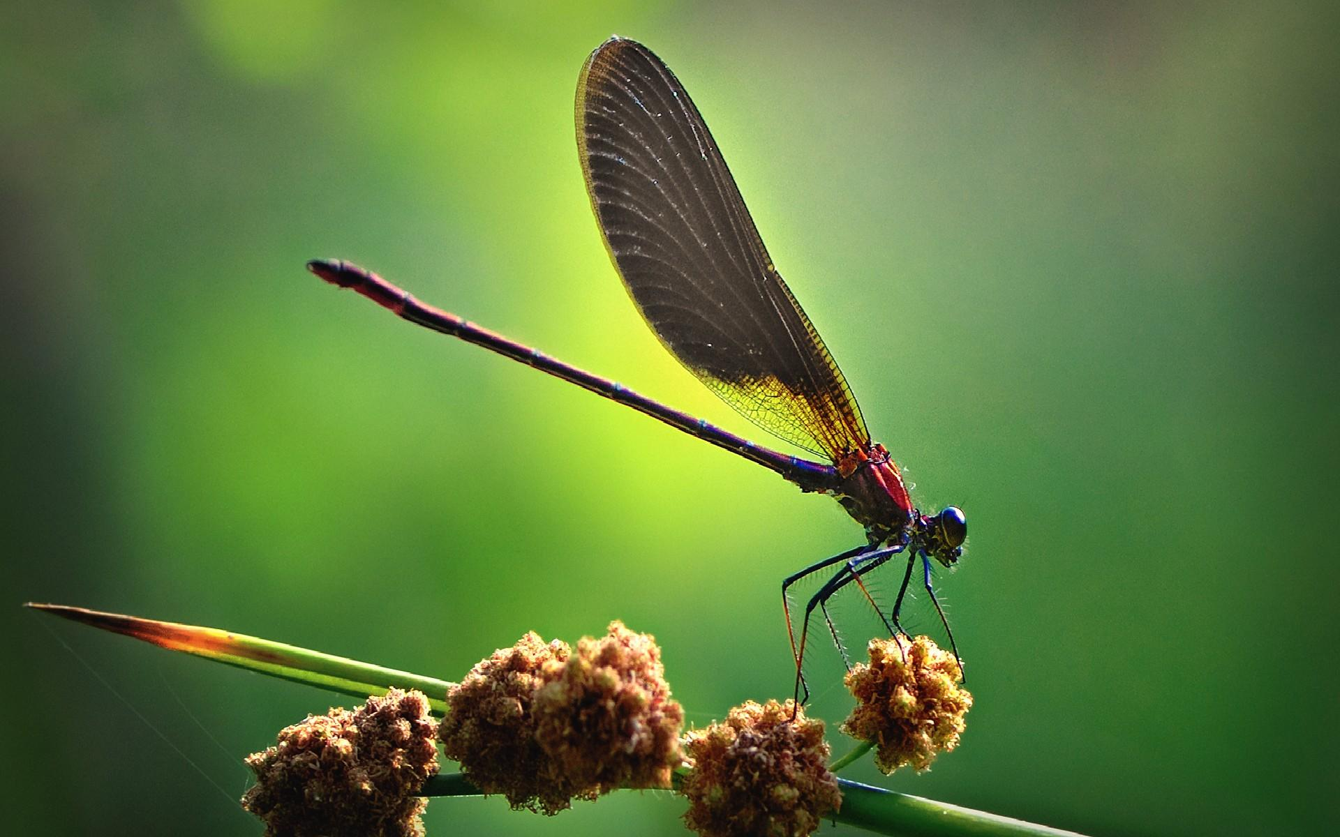 Fantastic Dragonfly Wallpaper 39237 1920x1200 px