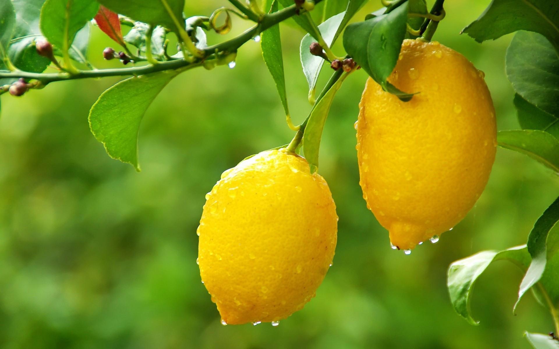 Fantastic Lemon Tree Wallpaper