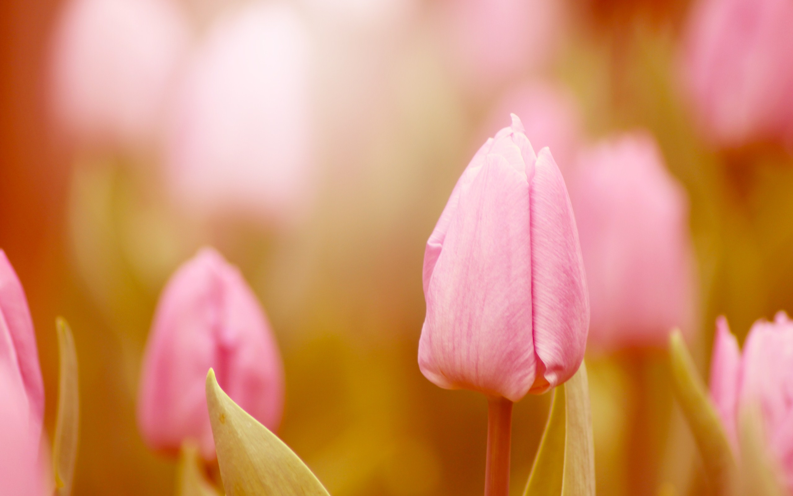 Fantastic Pink Macro Wallpaper