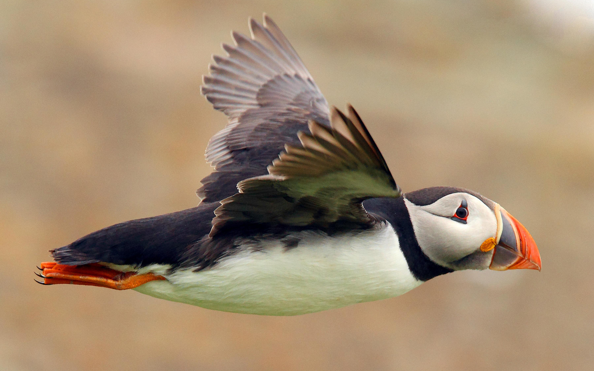 Fantastic Puffin Wallpaper