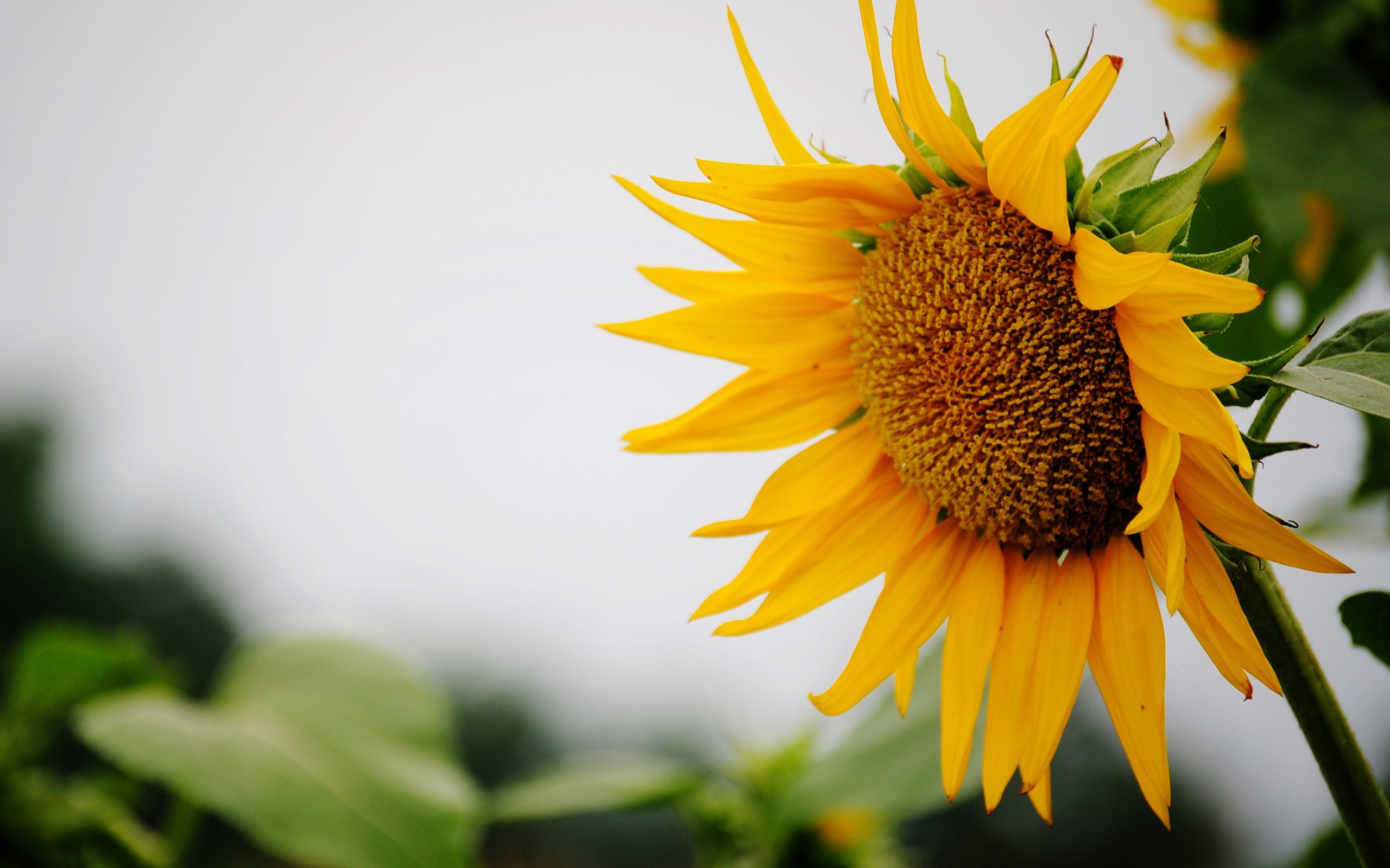 Fantastic Sunflower Wallpaper