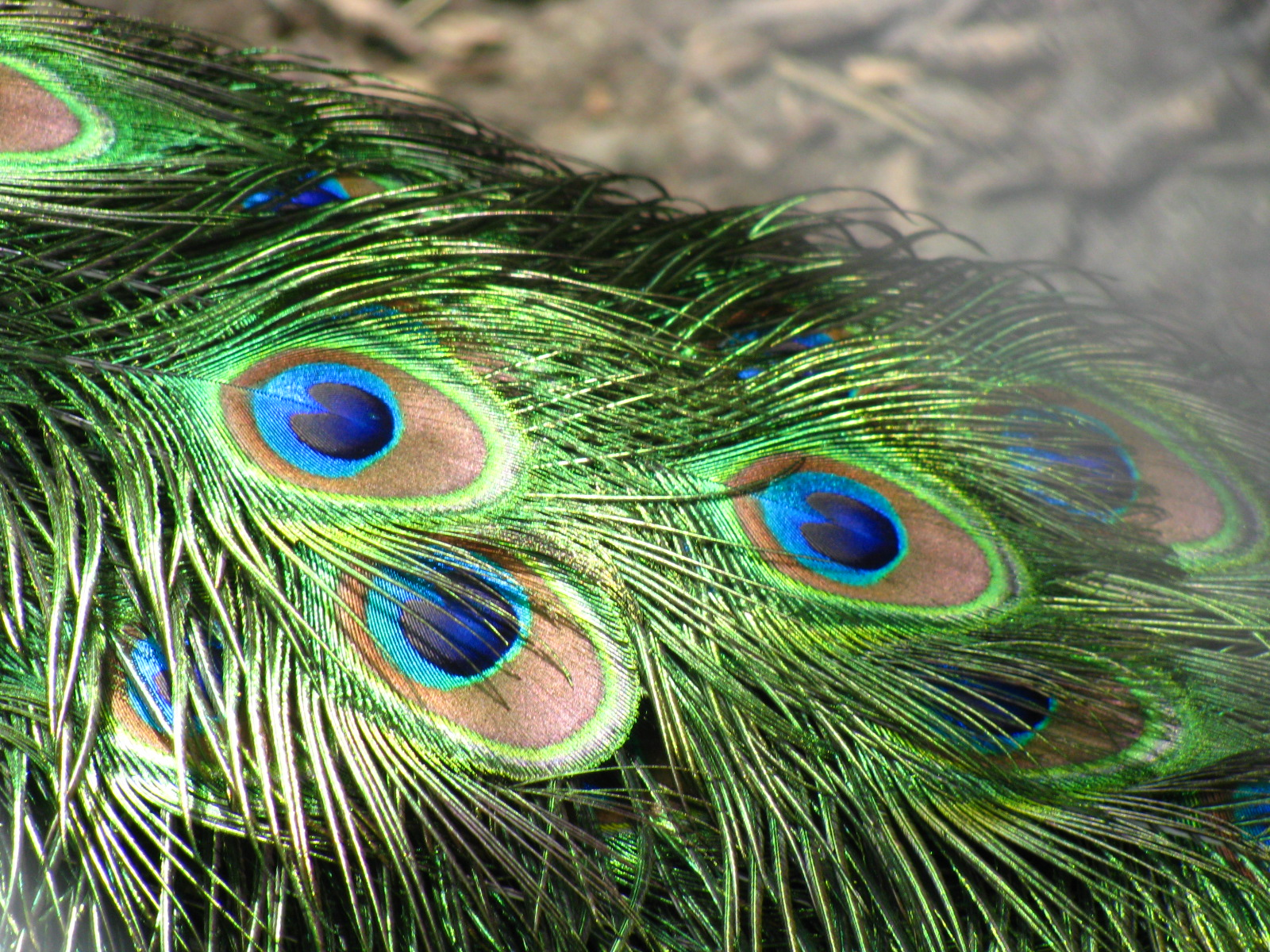 The brilliant iridescent colours of the peacock's tail feathers are created by structural coloration, as first noted by Isaac Newton and Robert Hooke.