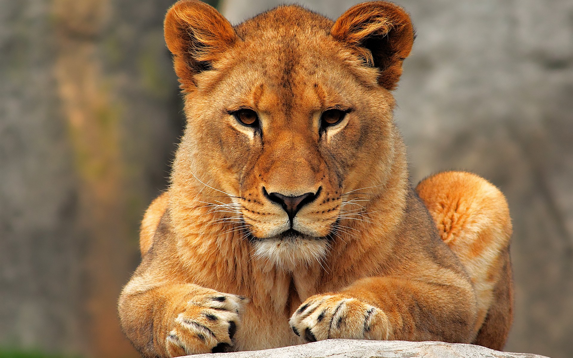 Female-lion-9.jpg