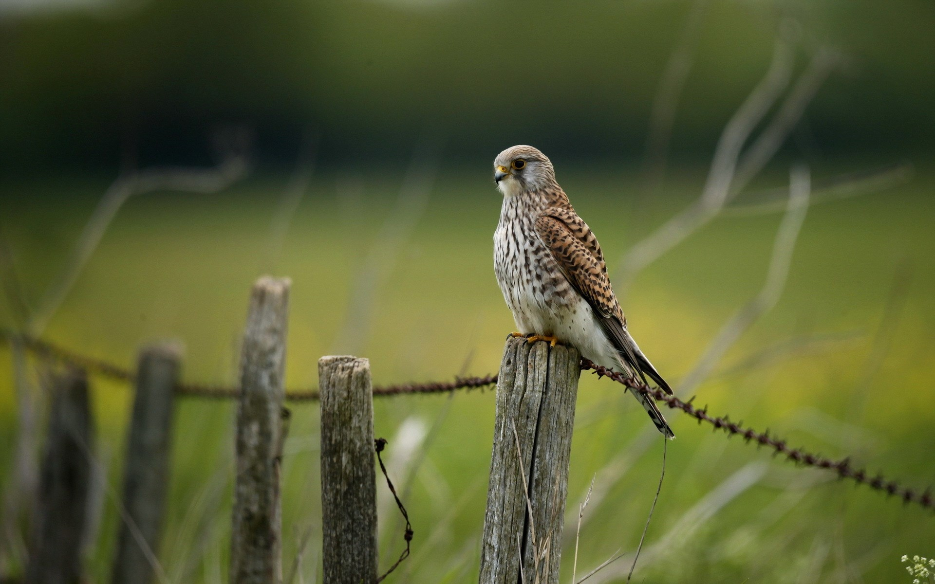 Falcon Bird Fence Nature