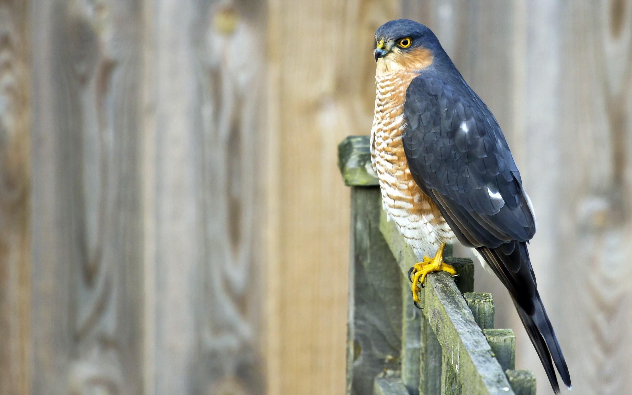 Fence Bird Sparrowhawk