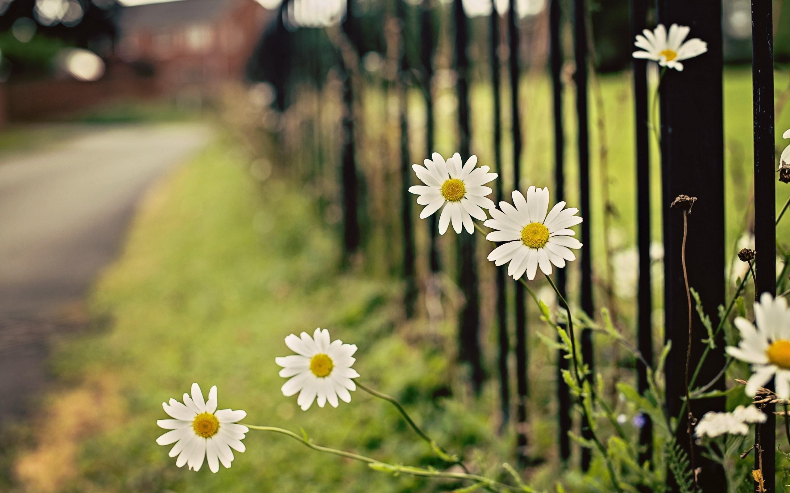 Chamomile Flowers Fence
