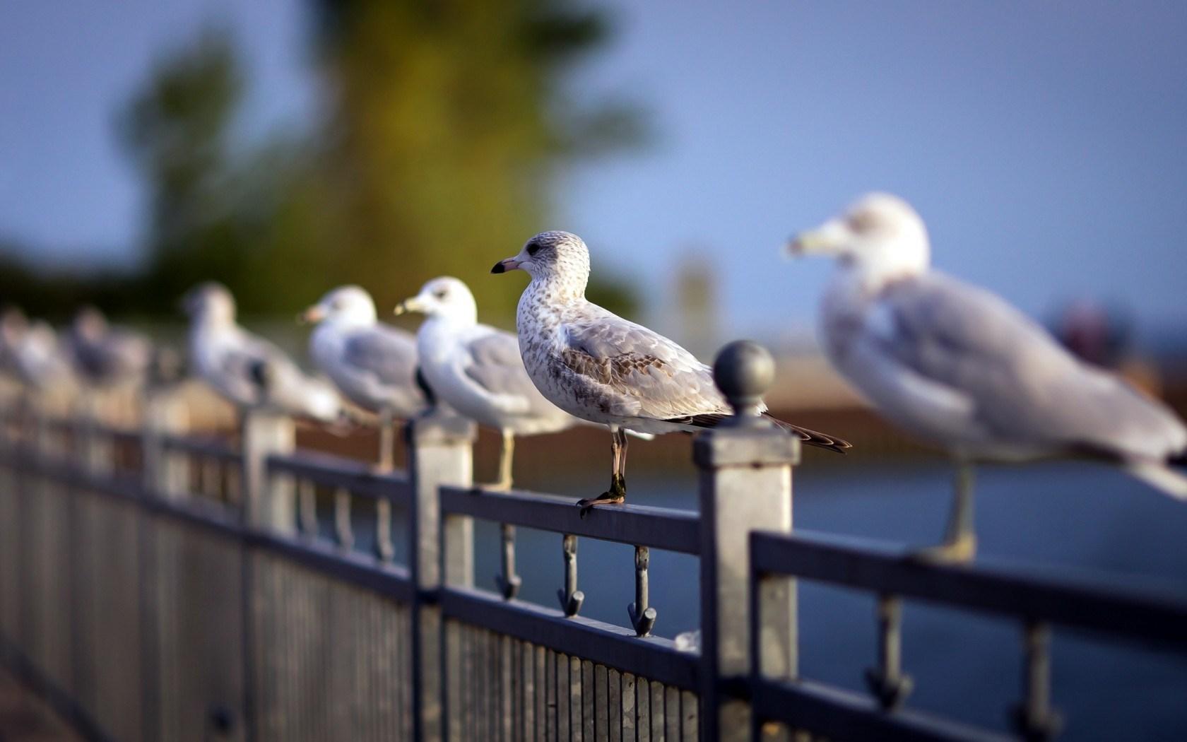 Bridge Metal Fence Seagulls Birds HD Wallpaper