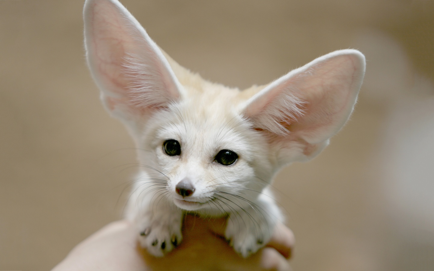 Because of its unusually large ears, this fox can be easily distinguished from the rest. It has a very sensitive sense of hearing, which allows them to hear ...