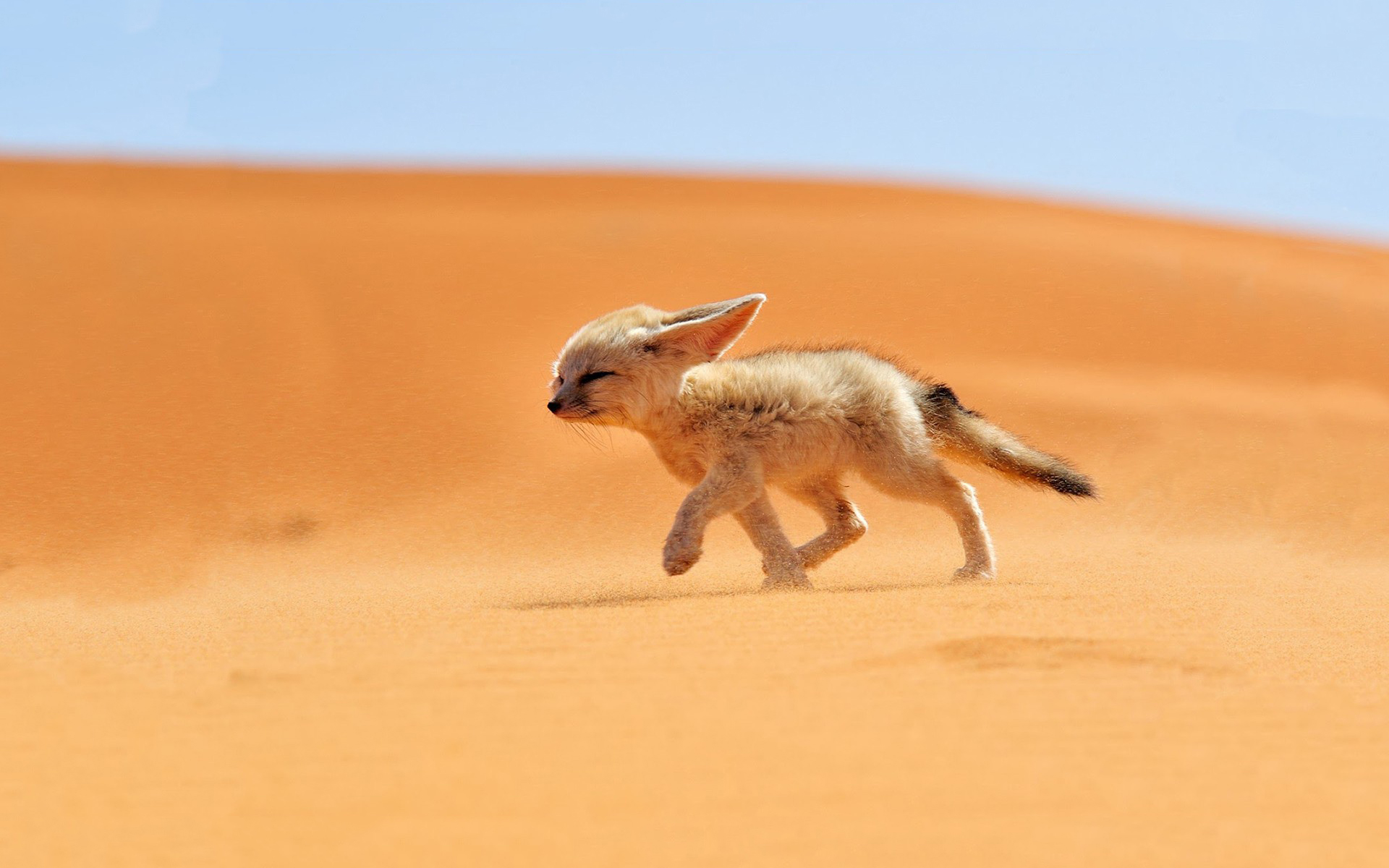 Fennec fox desert