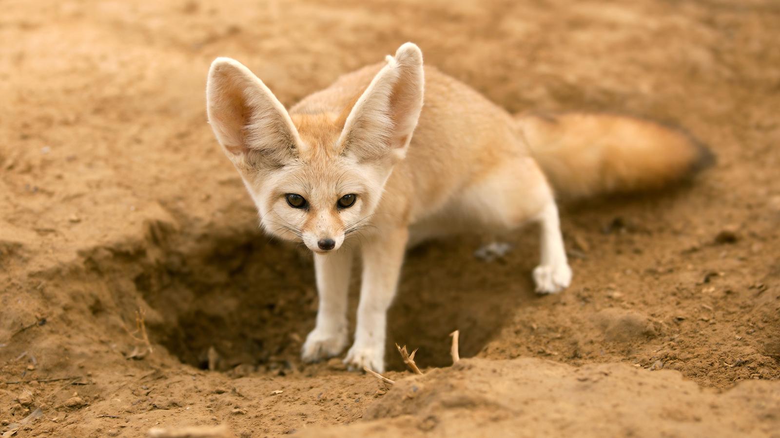 Fennec Fox Pictures