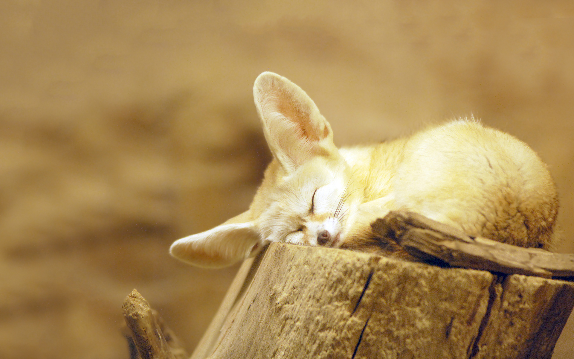 Fennec fox snooze Wallpapers Pictures Photos Images. «