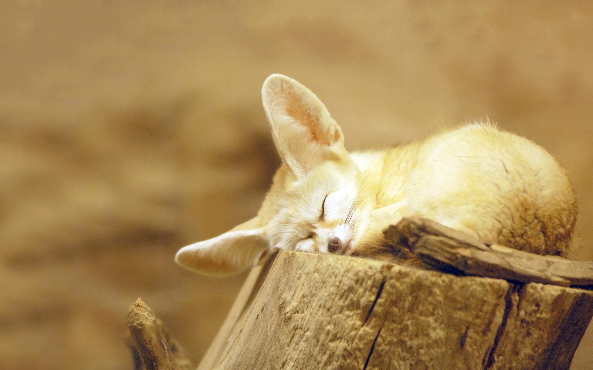 Fennec fox snooze