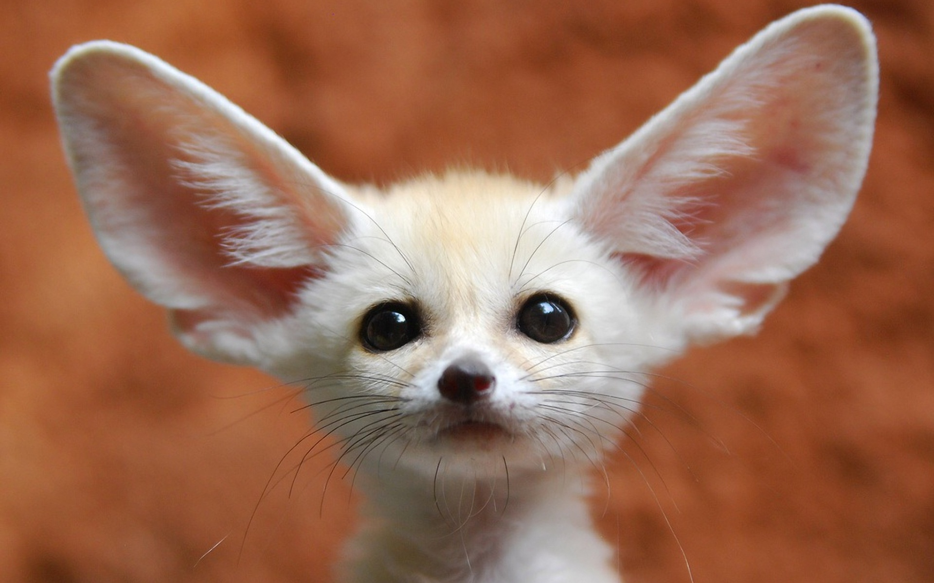 Fennec Fox Wallpaper