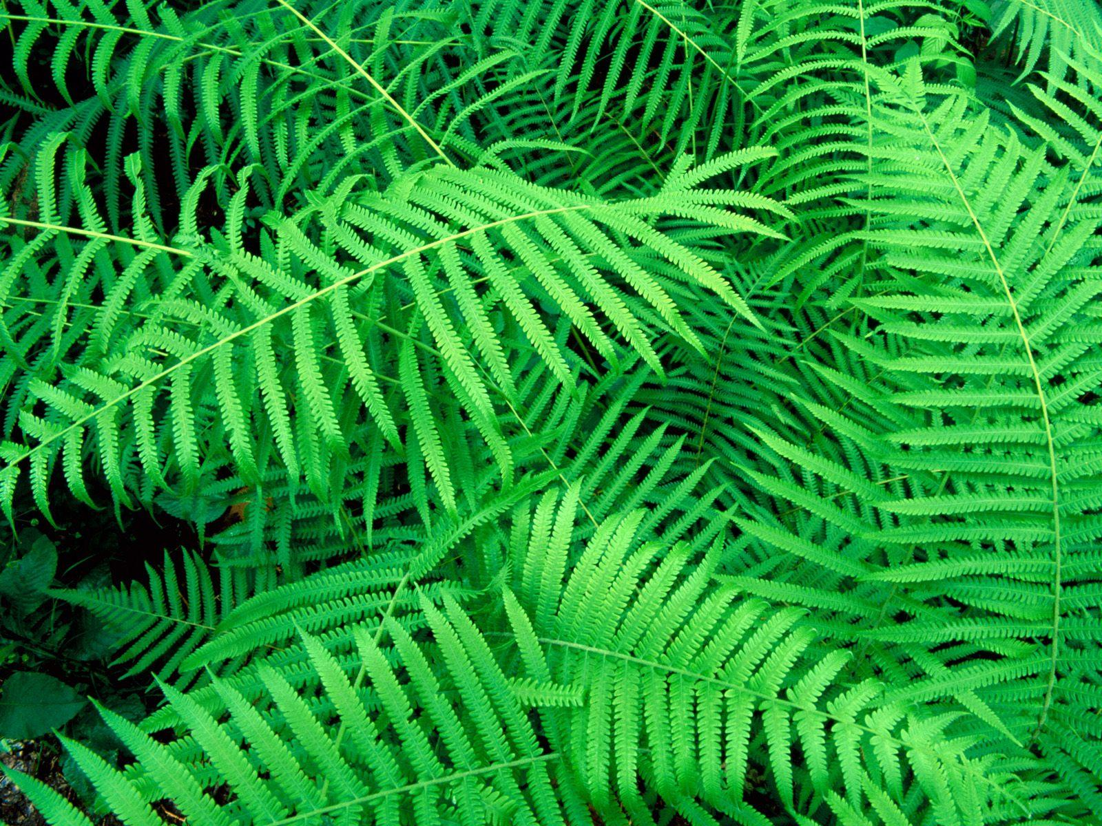 Hammock fern plant Blechnum occidentale