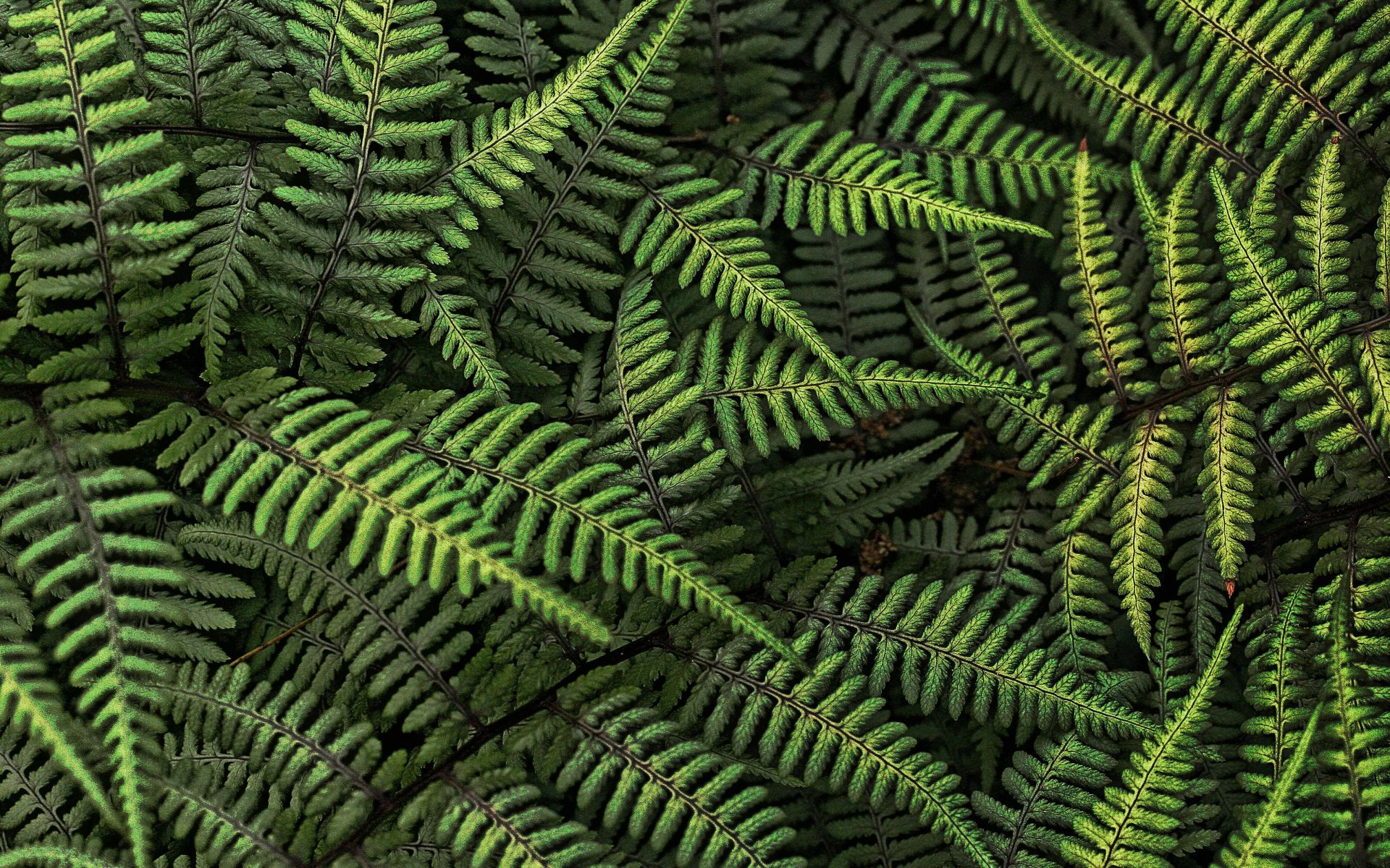 Fern Wallpaper