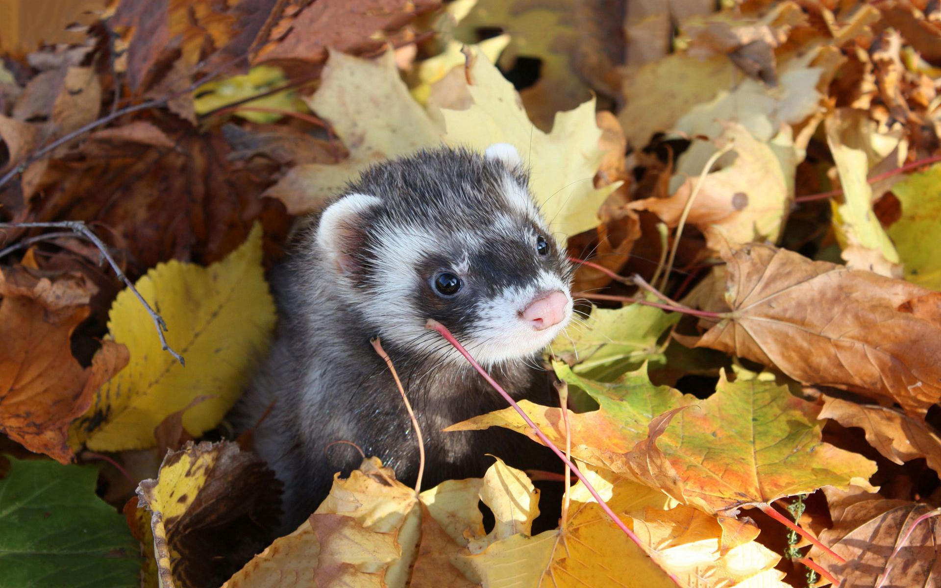 Ferret autumn leaves