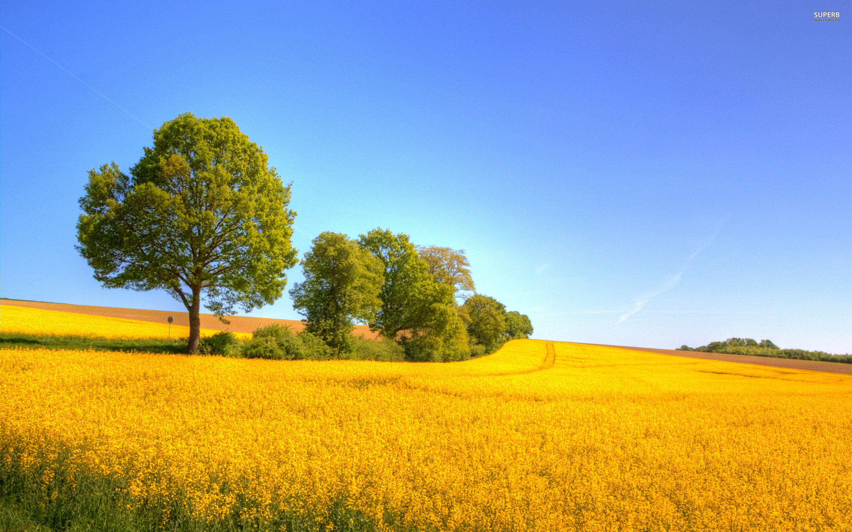 Yellow rapeseed field wallpaper 2880x1800