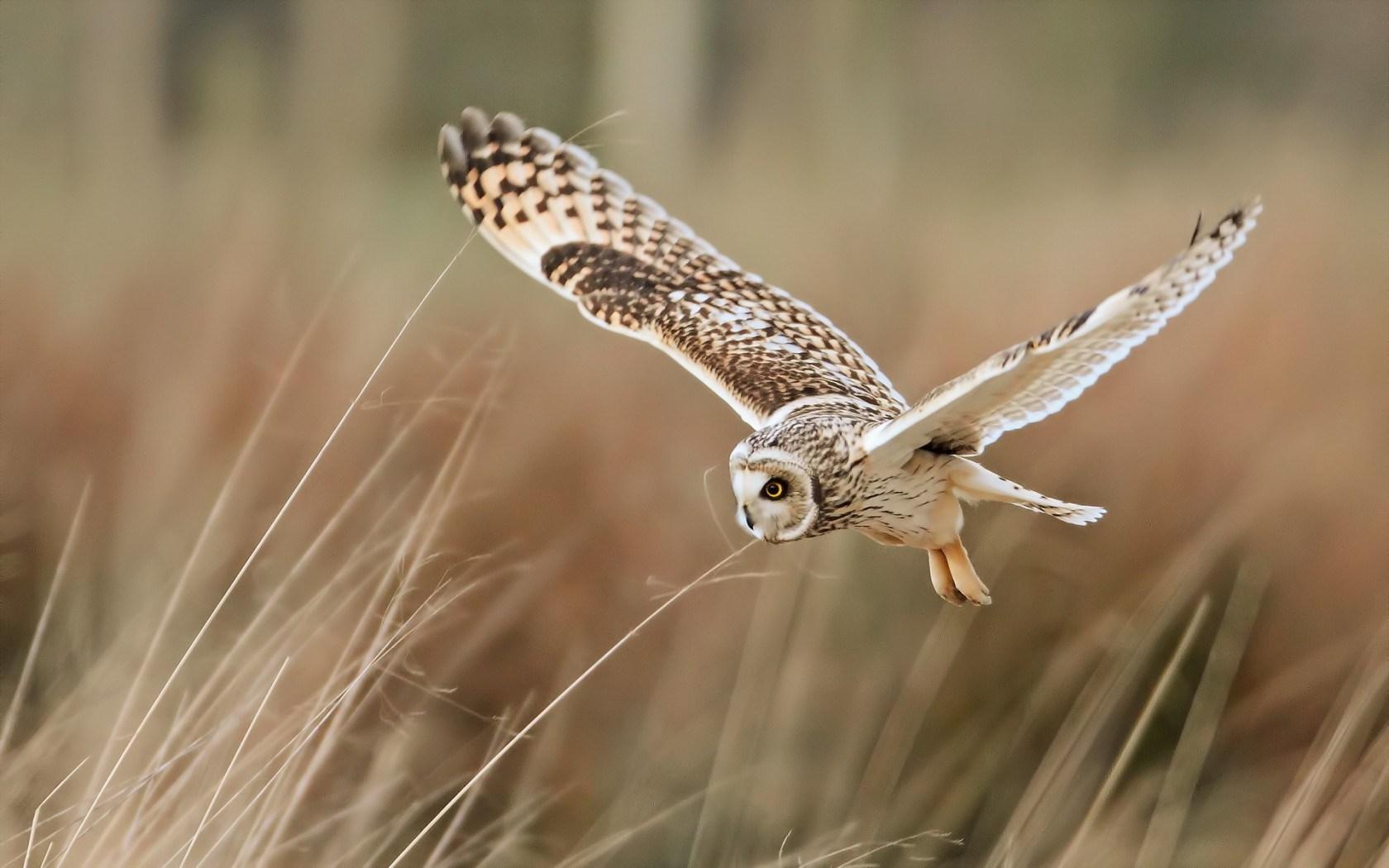 Field Bird Owl Flying