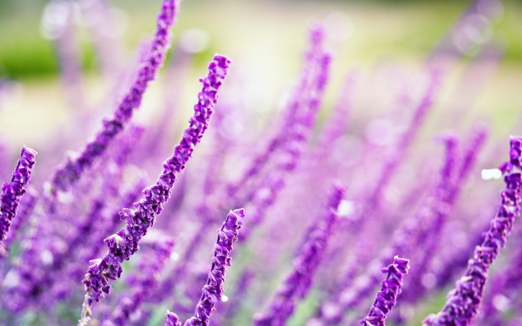 Field Flowers Purple Nature Macro