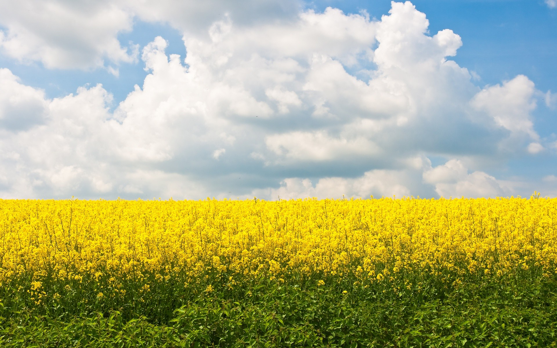 flowers fields yellow field yellow flowers wallpaper background
