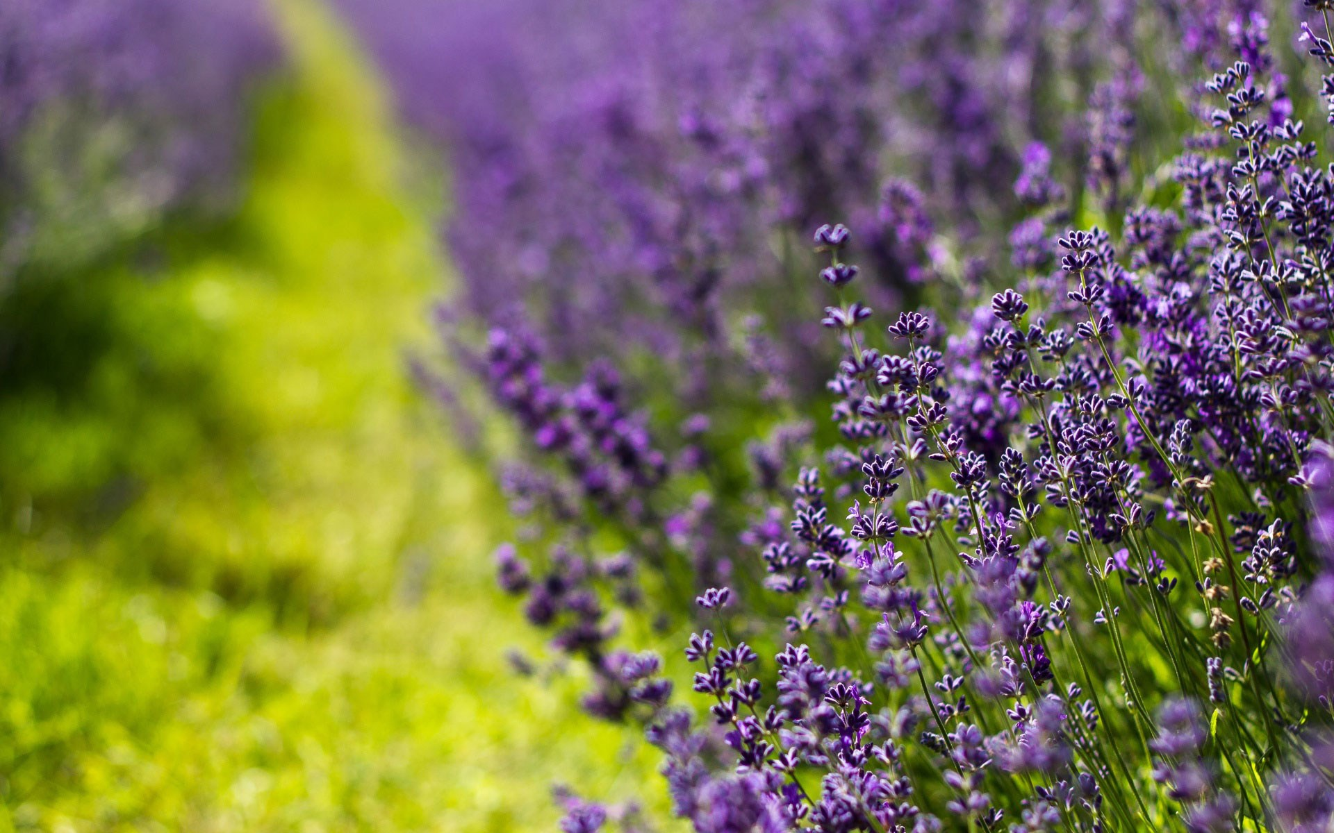 Field Lavender Nature