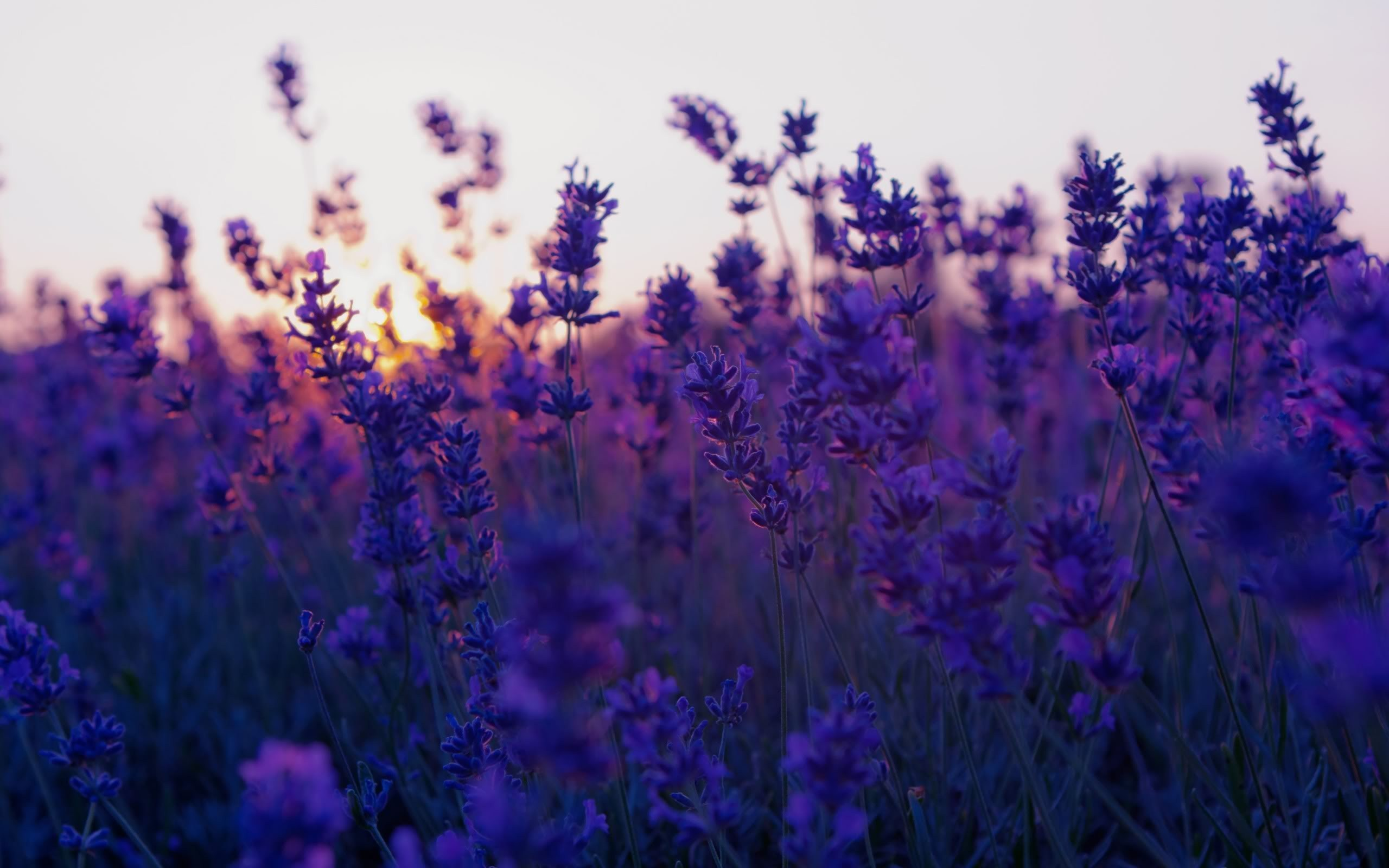 Field Lavender Purple Flowers Nature Photo