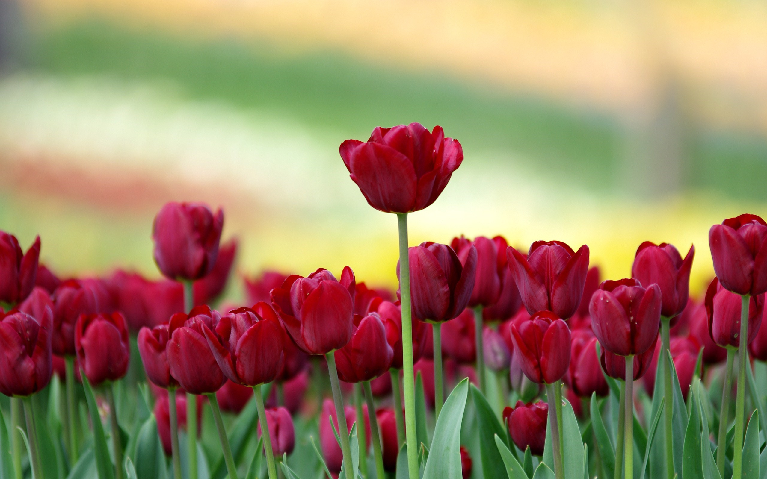 Red Tulips Field Nature Hd Wallpaper 2560x1600px