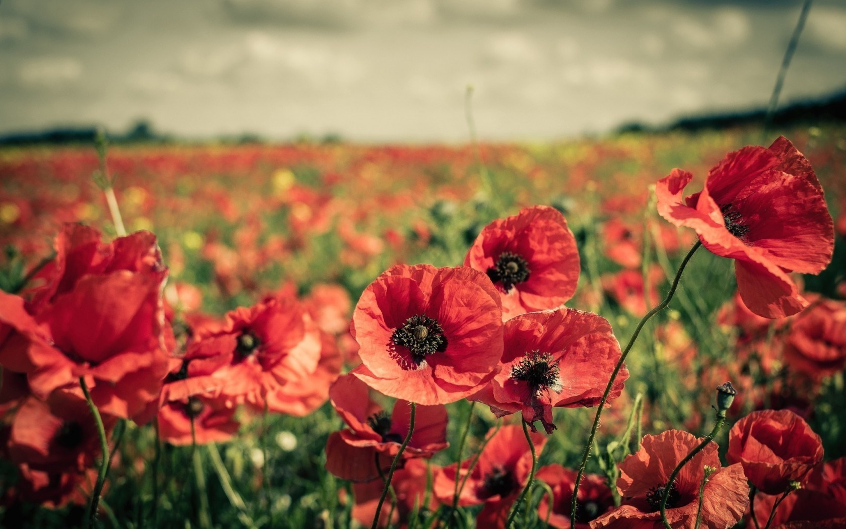 Field Poppies Flowers Nature