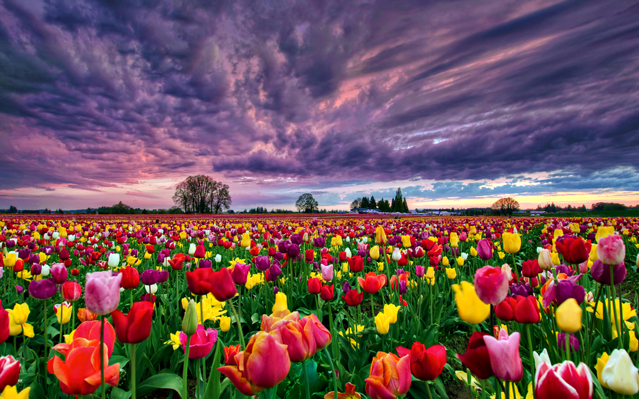 Summer Field Tulips Wallpaper Wallpapers