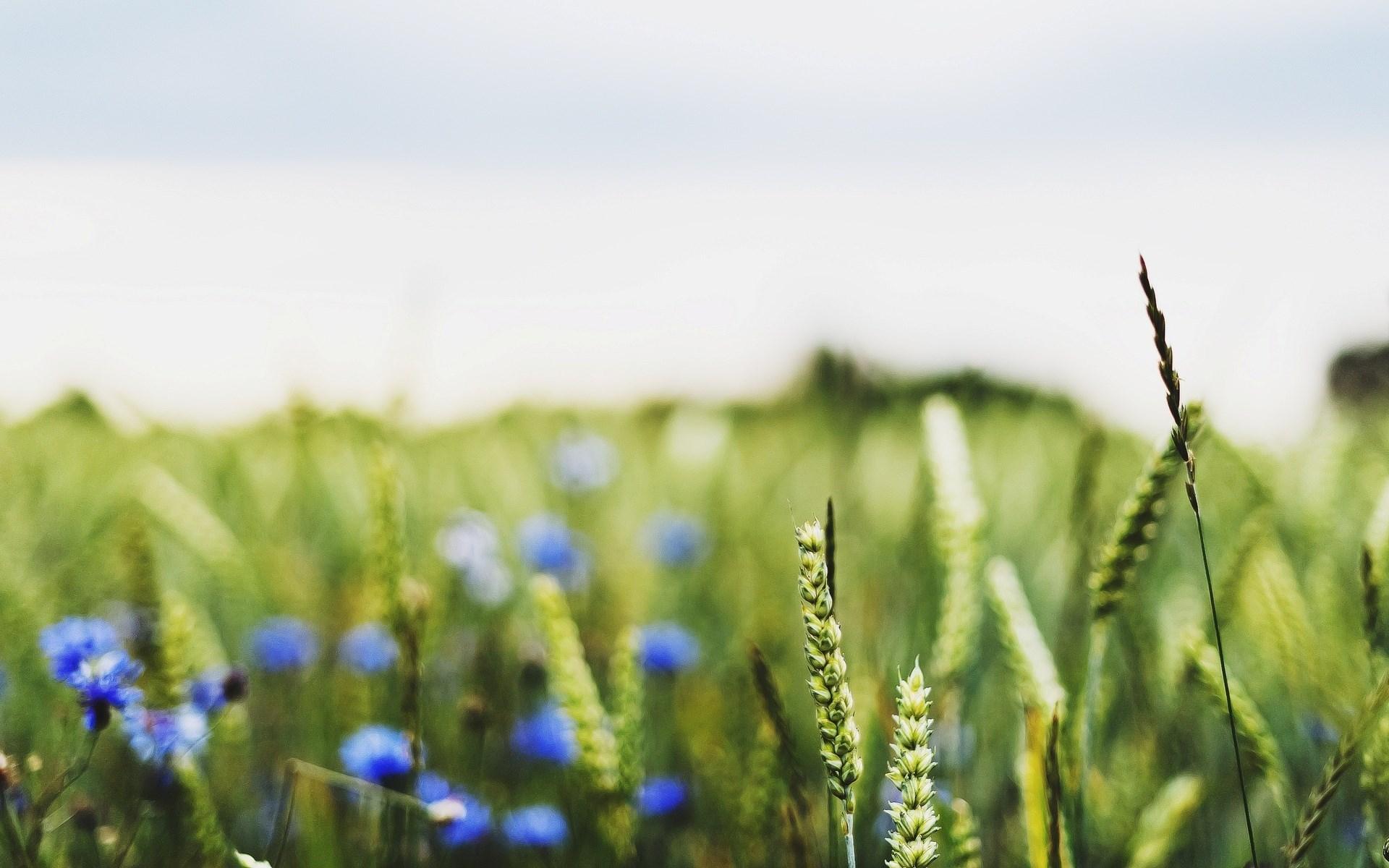 Field Wheat Flowers Blue Nature