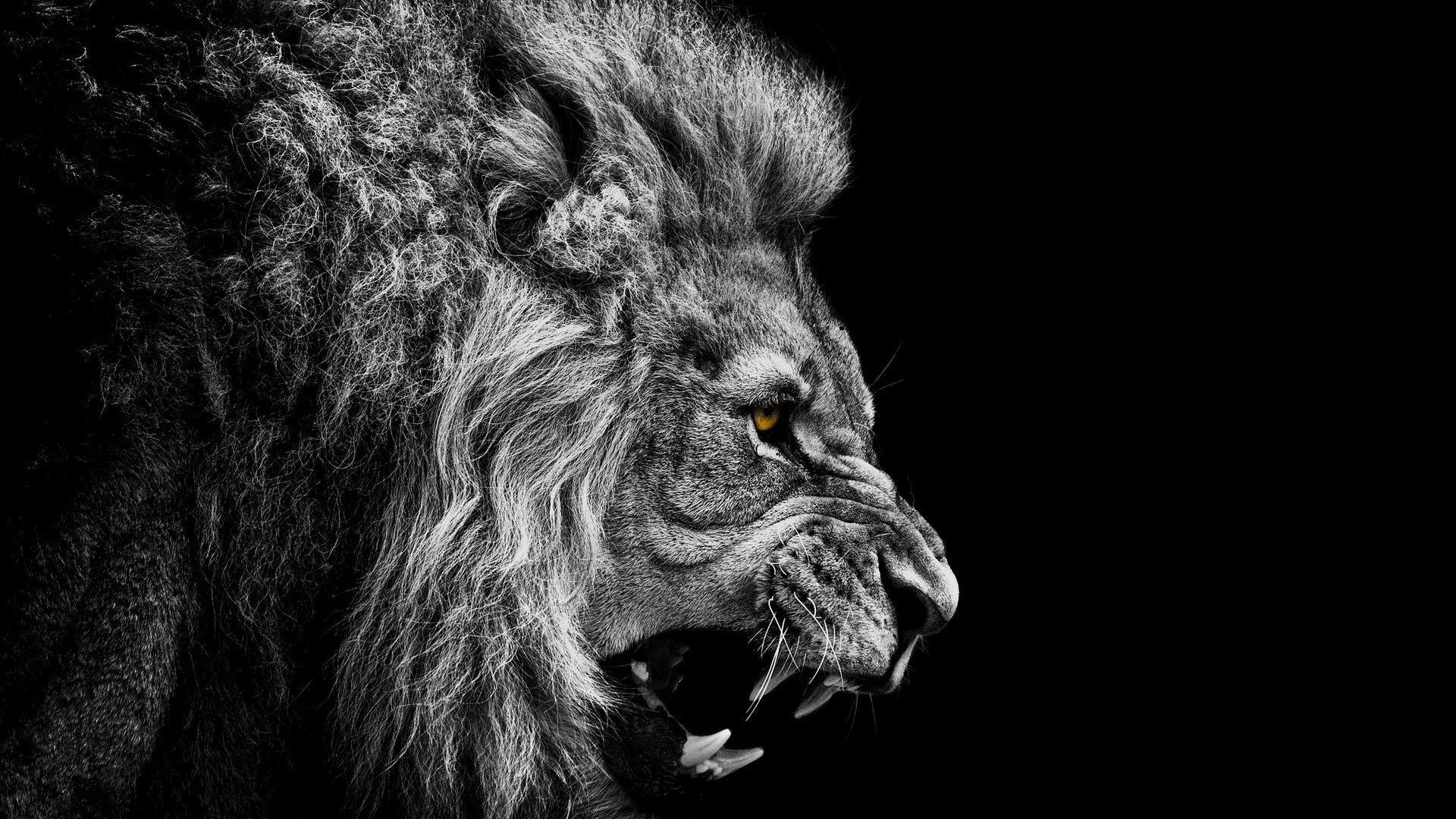 Fierce Lion Wallpaper