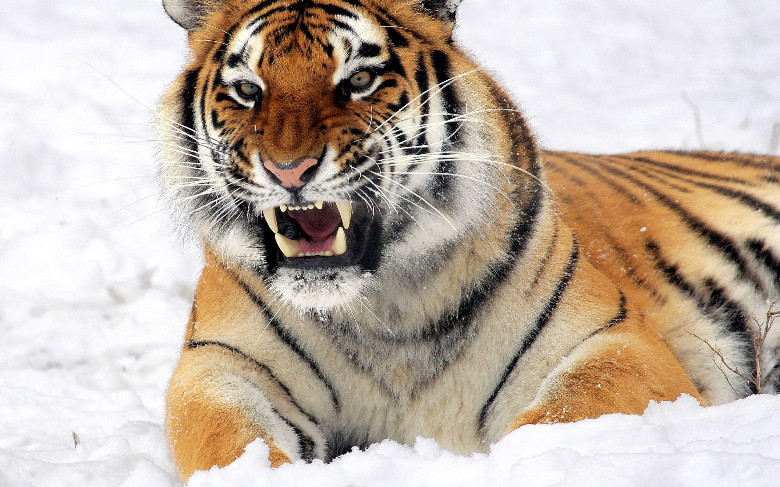 Fierce Tiger Wallpaper
