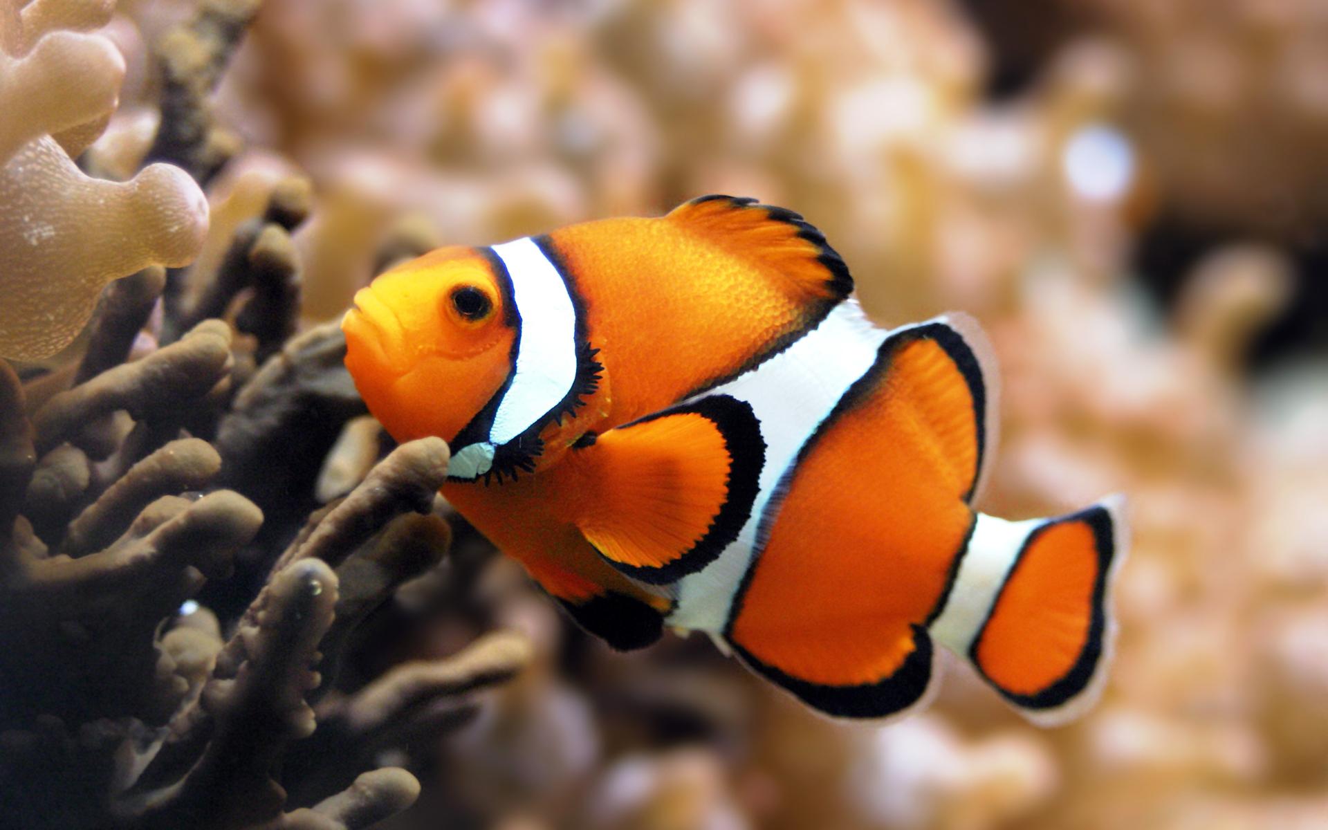 ... Nemo Fish