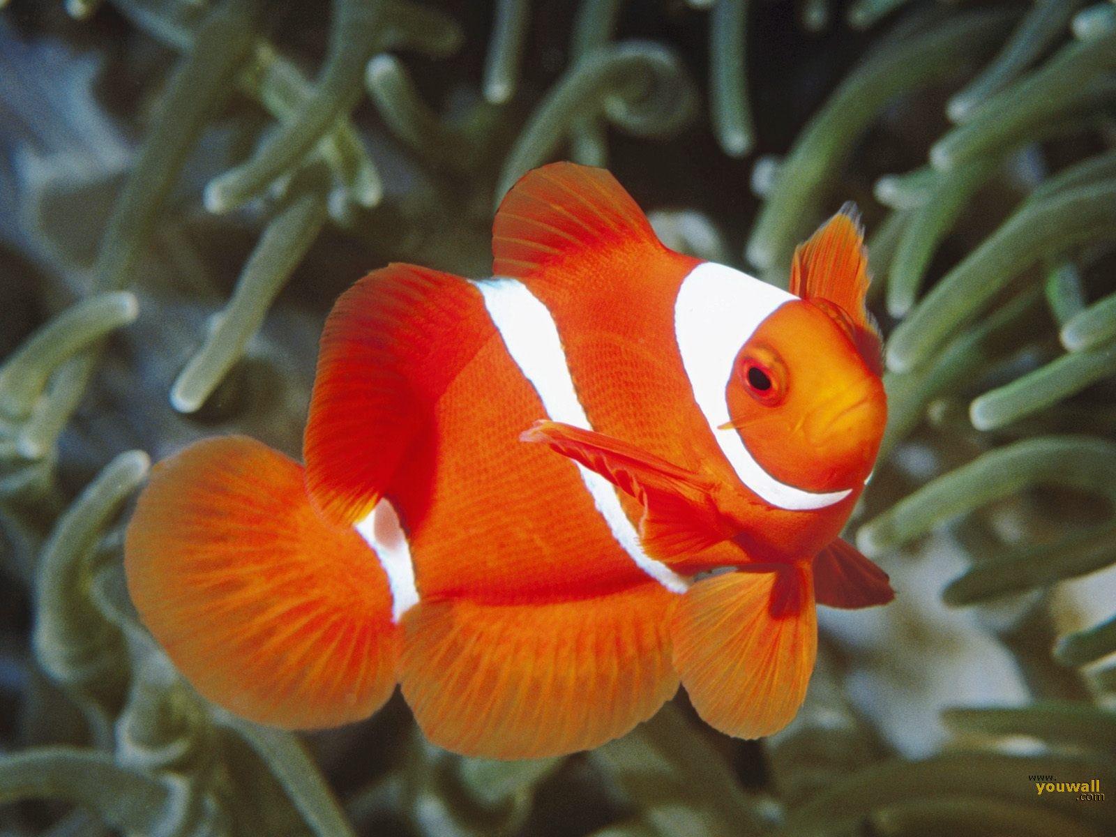 Cute Red Ocean Fish Wallpapers