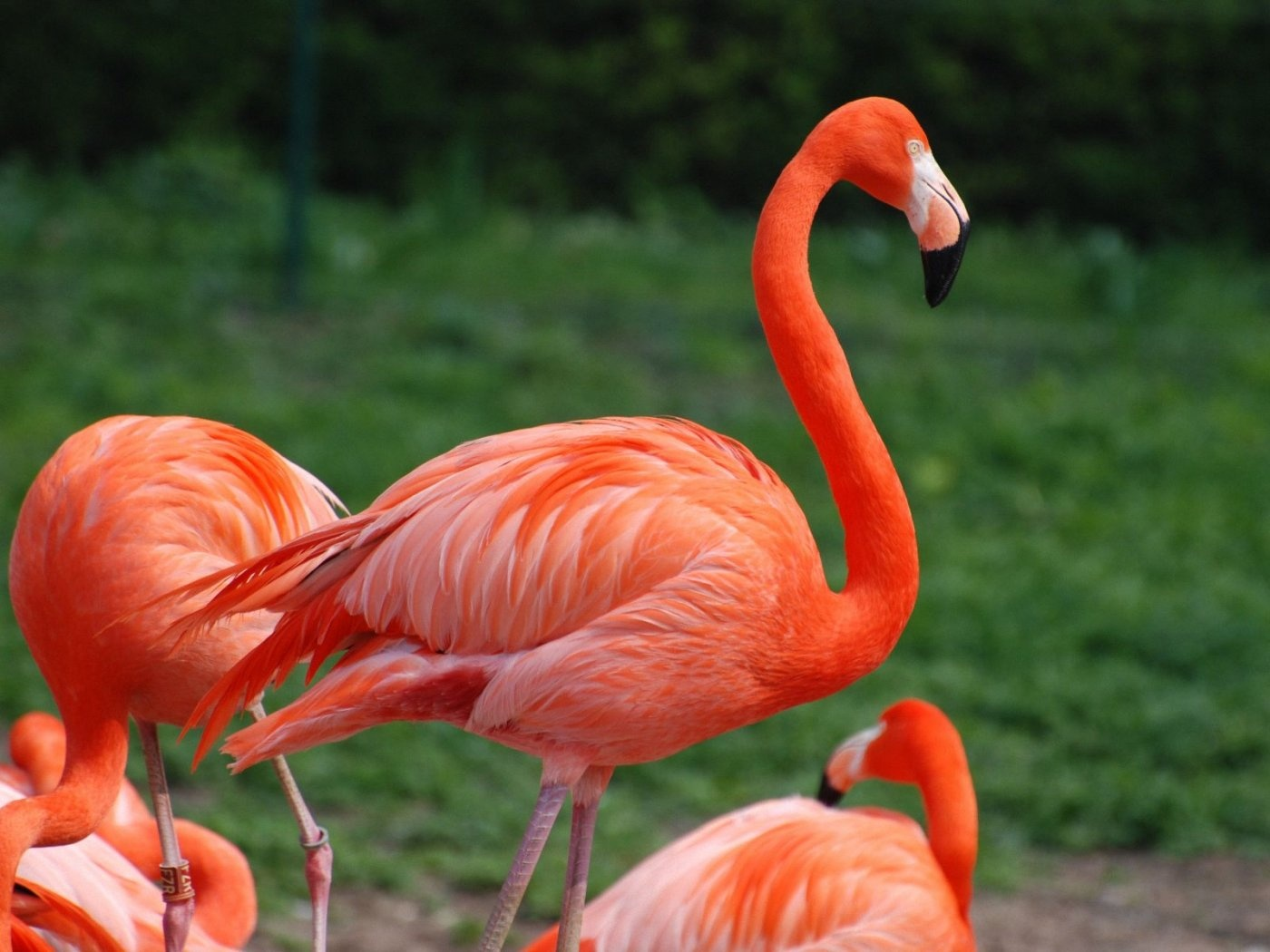 Flamingo hd