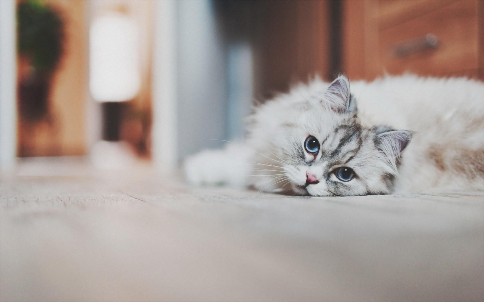 Floor Cat