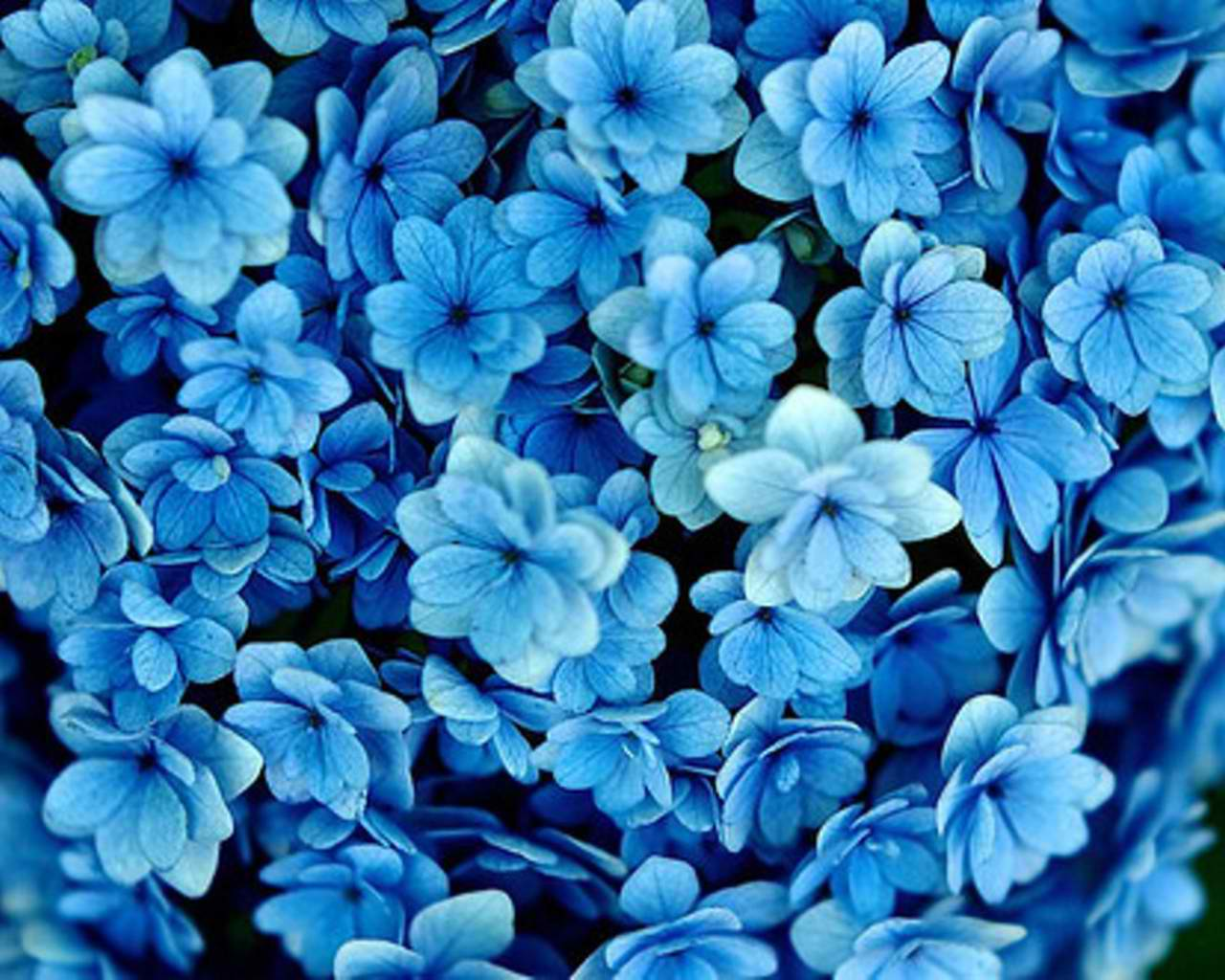 FLower Blue Wallpaper