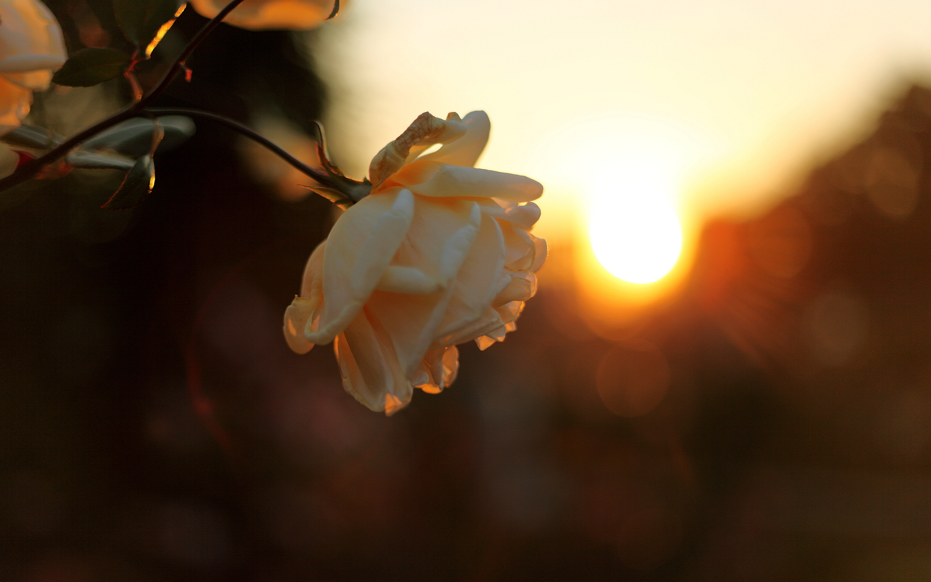 Flower bud sunset