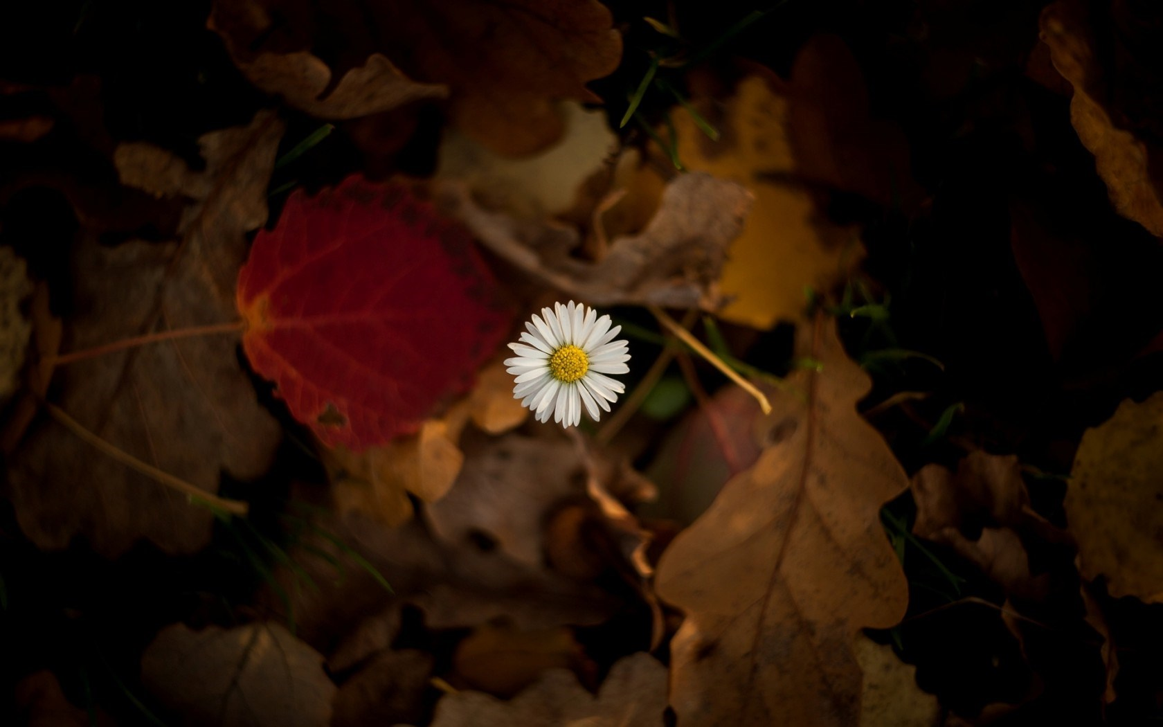 Flower Chamomile Leaves Autumn HD Wallpaper