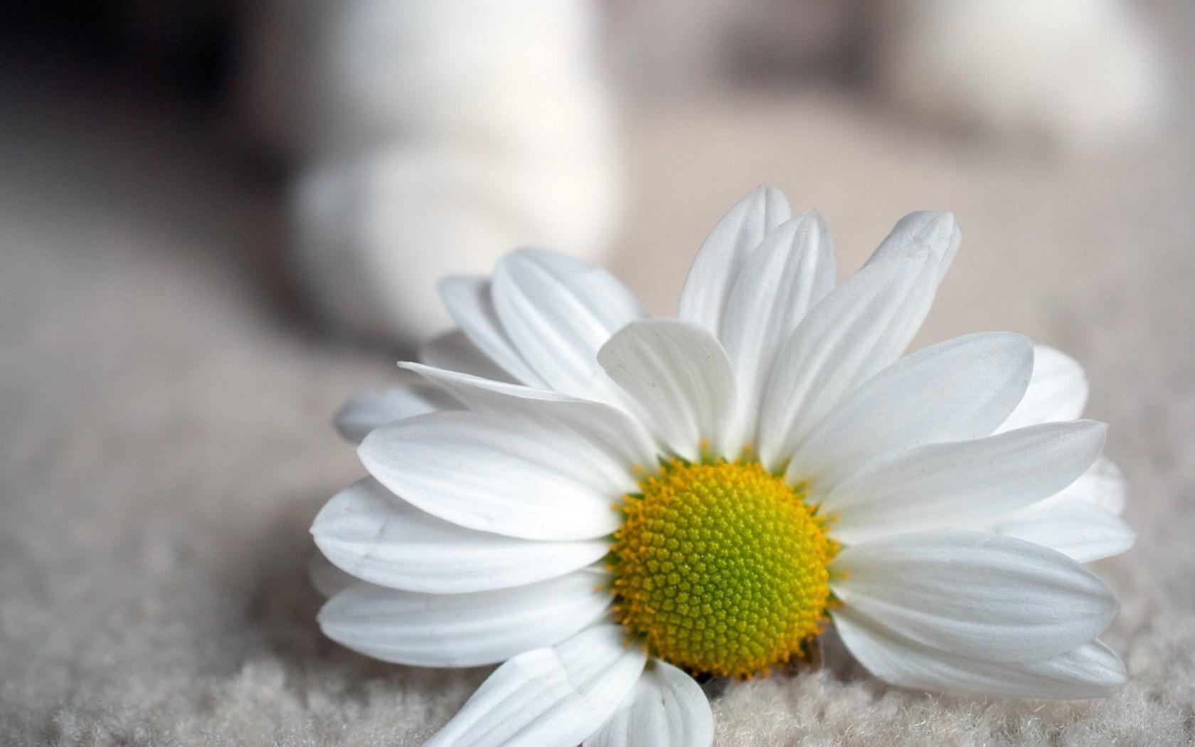 Flower Daisy Petals White